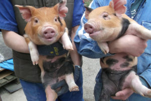 豚にとっての寿とは